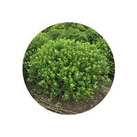 苗圃基地常年供应优质海桐球