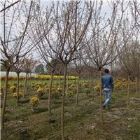成都5公分杏梅苗大量低价出售杏梅
