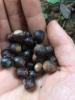 九江红锥种子价格-品质好价格低量大优惠