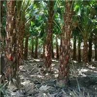 供应园林庭院特色景观大型树高杆蒲葵厂