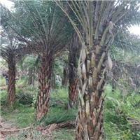 精品景不雅观绿化树中东海枣  中东海枣价格