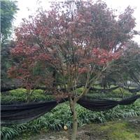 地径12公分日本红枫价格 日本红枫批发