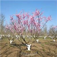 米径6公分-8公分高分支杏梅出售