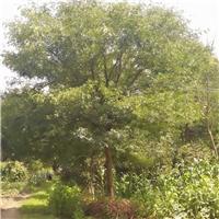 胸径30公分皂角树价格 四川专业皂角树基地