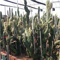 红笔缀化 仙人掌 变异品种 沙生肉质植物