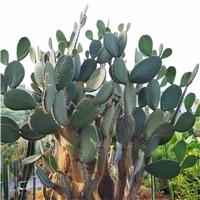 白毛仙人掌 庭院沙漠景观 花卉植物