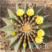 实生 黄彩玉仙人球 庭院室内外 沙漠景观