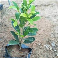 直销供应园林广泛常绿植物黄金榕袋苗厂
