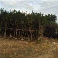 直销供应树形优美园林行道树小叶紫薇厂