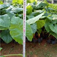 柱型挺拔绿化植物小苗海芋 海芋物美价廉