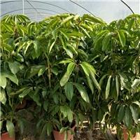 大型盆栽净化空气绿植大叶伞特价供应厂