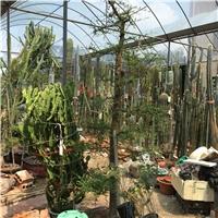 列加氏漆树 块根盆景盆栽 漆树科