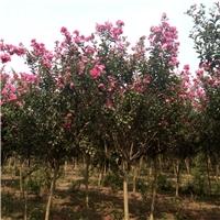 好景园林常年出售各种红花紫薇