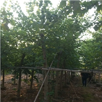 直销供应生长极快绿化景观树红花紫荆厂