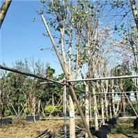 树身可达7米景区行道风景绿化树宫粉紫荆厂