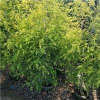 黄金宝树园林小区调色绿化树 物美价廉
