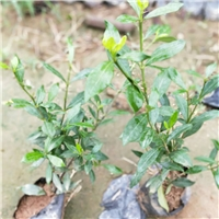优良芳香花卉绿色植物小叶栀子 物美价廉