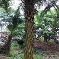 树形极佳绿化风景树中东海枣 漳州有售厂