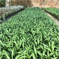 多年生常绿草本植物吉祥草袋苗 物美价廉厂