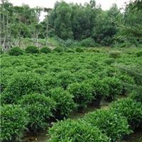 园林小区造景球形常绿灌木非洲茉莉球厂