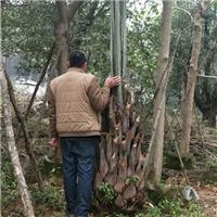 园林绿化可盆栽大型景观绿化树布迪椰子厂
