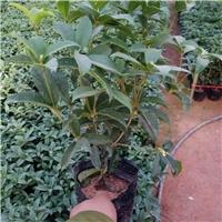 根系发达常绿灌木桂花小苗 漳州常年有售