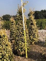 庭院柱型盆栽造景树黄金垂榕 物美价廉厂