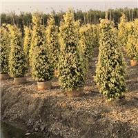庭院柱型盆栽造景树黄金垂榕 物美价廉