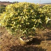 规格1.5米盆栽观赏植物黄金榕球价格多少