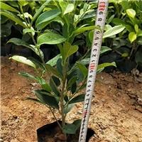 高30公分绿植黄金榕在漳州售价多少