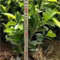 高30公分绿植黄金榕在漳州售价多少厂