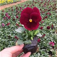 买优质冬季花卉三色堇找山东春泥园艺