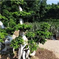 风景绿化树小叶榕 可做造型盆栽绿化树