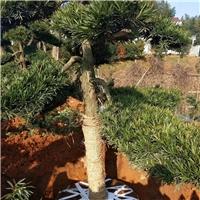 精品景观绿化树罗汉松 多规格特价供应厂