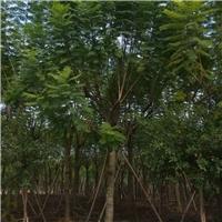 风景树蓝花楹 适合景区道路种植绿化树