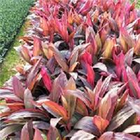 优质常绿灌木亮叶朱焦 漳州基地常年有售