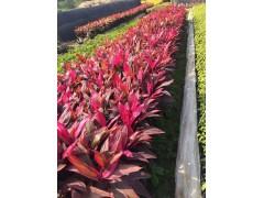 优质常绿灌木亮叶朱焦 漳州基地常年有售厂