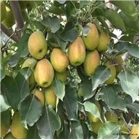 大量供应玉露香梨树苗