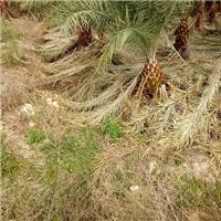 常绿热带风景树加拿利海枣 规格齐全