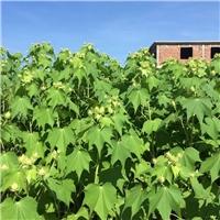 灌丛常绿植物木芙蓉小苗 木芙蓉小苗价格