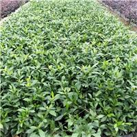 园林常绿护坡地被植物小苗小叶栀子