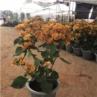 福建风景特色造景绿化植物小苗三角梅
