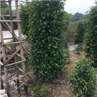 净化空气盆栽绿化常绿小乔木垂叶榕厂