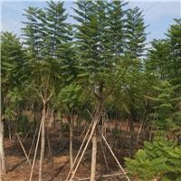 行道园林常绿风景绿化树蓝花楹 物美价廉厂