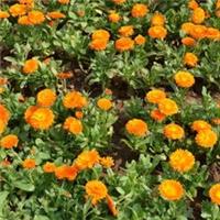 公园摆放观赏性花卉植物金盏菊 物美价廉