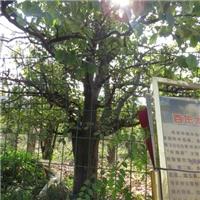 雷泽湖光皮木瓜树供应商/皱皮木瓜树