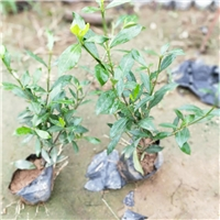 优质常绿灌木小叶栀子 漳州常年大量供应厂