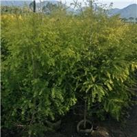 庭院盆栽型灌木植物黄金宝树 物美价廉厂