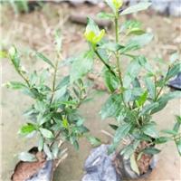 优质常绿地被植物小叶栀子 常年大量供应
