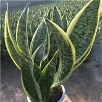 可供较长时间观赏盆栽绿化植物虎皮兰厂
